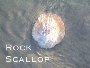 Behold this shell found on rocky shores - a memoir of struggles below the tides.