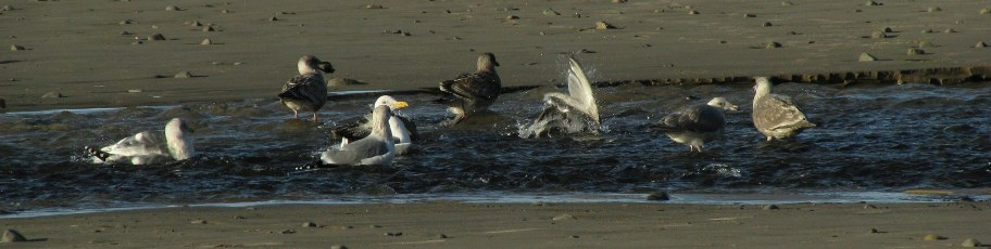 photo: gulls bathing